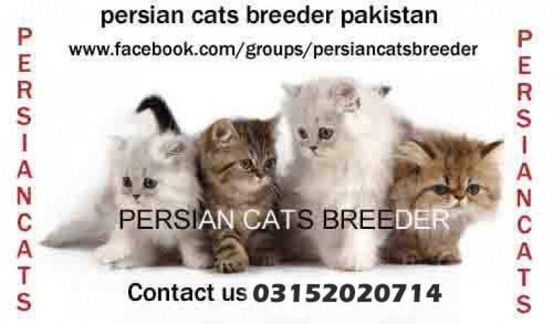 Persian Cats Breeder