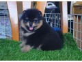 pedigree-puppies-dogs-for-sale-in-pakistan-small-2