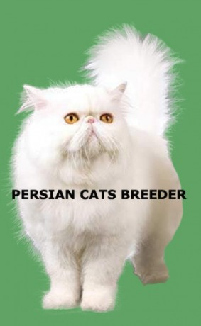 persian-cats-breeder-provide-excellent-fertile-high-quality-pure-persian-male-cats-for-stud-service-big-3
