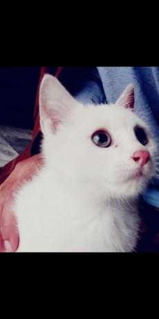 persian-male-cat-big-3