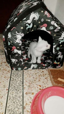 persian-male-cat-big-2