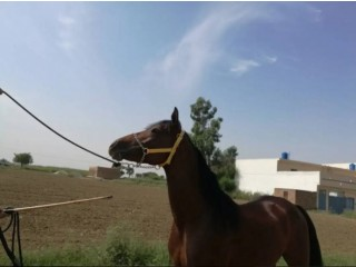 Imported Arabian Horse Available For Sale