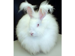 Giant angora and all other breed bunnies
