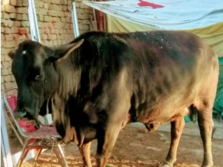 Walaiti and sahiwal miks cow